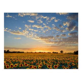 Sonnenblumen am Sonnenuntergang Postkarte