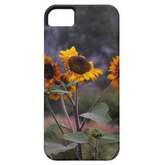 Sonnenblumen auf Anzeige iPhone 5 Schutzhüllen