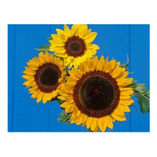 Sonnenblumen gegen blauen Zaun Postkarte