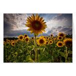 Sonnenblumen Grußkarten