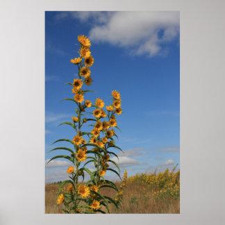 Sonnenblumen in Minnesota Plakatdrucke