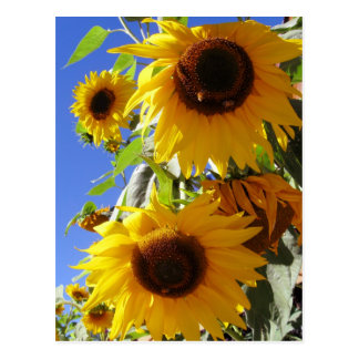 Sonnenblumen Postkarten