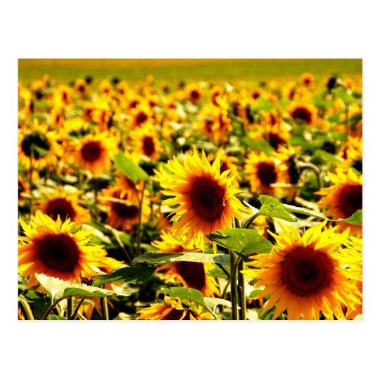 Sonnenblumenfeld Postkarte