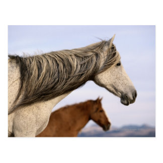 Spanische Mustangs Postkarte