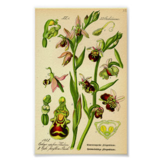 Späte Spinnen-Orchidee (Ophrys fuciflora) Poster