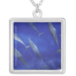 Spinner dolpins Stenella longirostris) Versilberte Kette