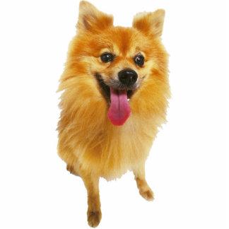 Spitz-Hund Acrylausschnitt
