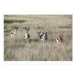 Springbockantilope Postkarte