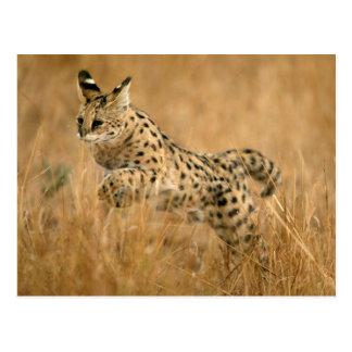 Springen des Serval-(Leptailurus Serval) Postkarte