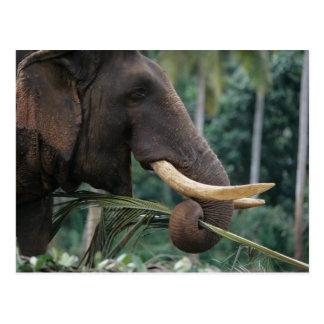 Sri Lanka, Elefant füttert an Pinnewala Elefanten Postkarte