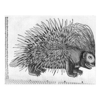 Stachelschwein, von 'Historia Animalium Postkarte