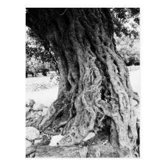 Stamm des alten Olivenbaums in Postkarte