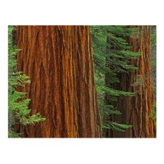 Stämme des riesigen Mammutbaums im Wald Yosemite Postkarte