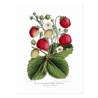 Stawberry Postkarte