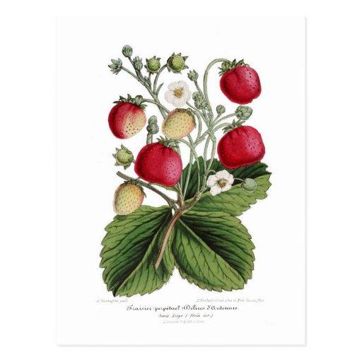 Stawberry Postkarten