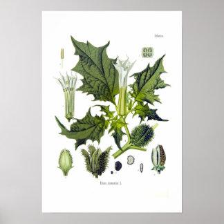 Stechapfel stramonium plakat
