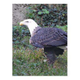 Stehender amerikanischer kahler Adler Postkarte