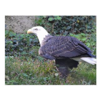 Stehender amerikanischer kahler Adler Postkarten