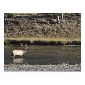 Stier-Elche, die Madison-Fluss, Yellowstone 2 Postkarte