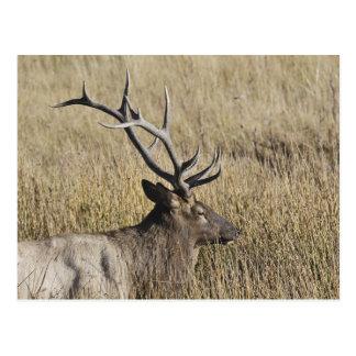 Stier-Elche, die Madison-Fluss, Yellowstone 3 Postkarte