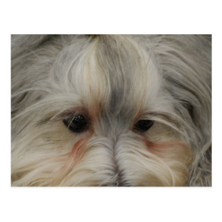Stillstehender Havanese Hund Postkarte