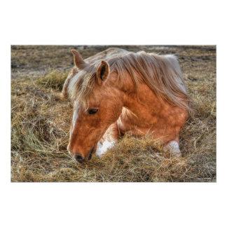 Stillstehendes Palomino-Farben-Pferd und Heu-Foto Poster
