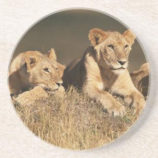 Stolz der jungen männlichen Löwen Sandstein Untersetzer