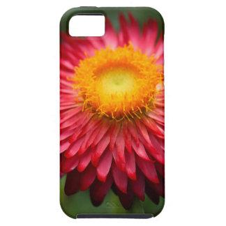 Strawflower (Xerochrysum bracteatum) iPhone 5 Cover
