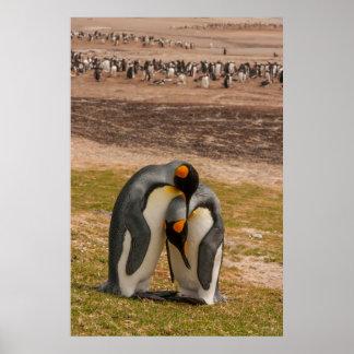 Streichelnde König-Pinguine, Falkland Poster