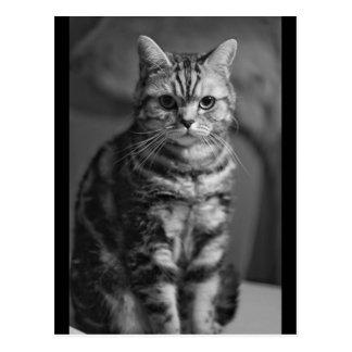 Strenge britische shorthair Katzenpostkarte Postkarte