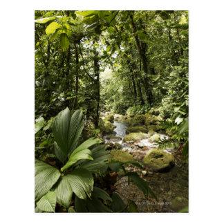 Strom im Regenwald, Dominica Postkarte