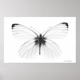 Studioschuß des scharf-veined weißen Schmetterling Poster