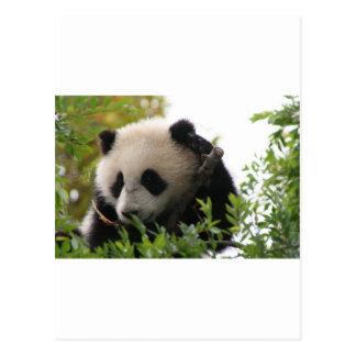 SU Lin, PandaBärenjunges am San Diego Zoo Postkarte