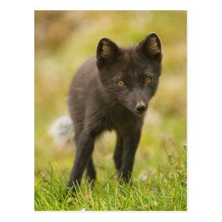 Suchen des arktischen Fuchses nach Nahrung Postkarte