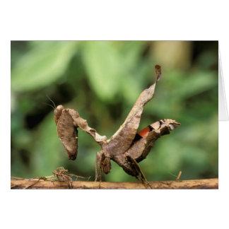 Südamerika, Ecuador, Amazonas. Betender Mantis Karte