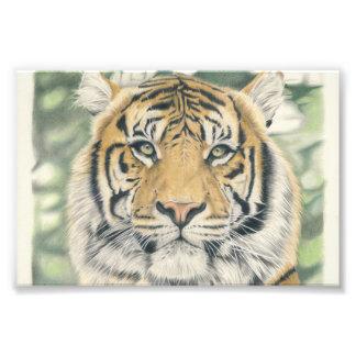 Sumatra Tiger - Farbstiftzeichnung Fotodruck