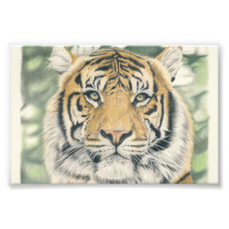 Sumatra Tiger - Farbstiftzeichnung Fotografie
