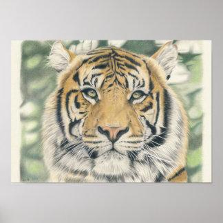 Sumatra Tiger - Farbstiftzeichnung Poster
