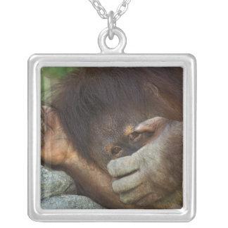 Sumatran Orang-Utan, Pongo pygmaeus Versilberte Kette