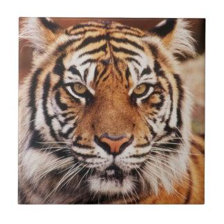 Sumatran Tiger, Panthera der Tigris Fliese