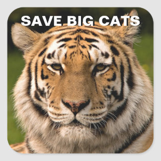 Sumatran Tiger-Porträt Quadratischer Aufkleber