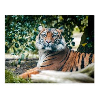 Sumatran Tiger Postkarte