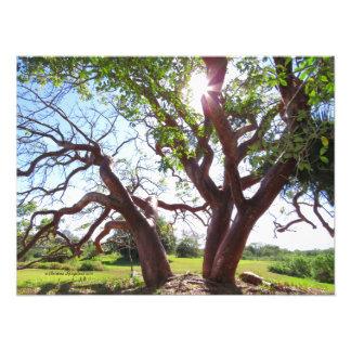 Sun-Druck bäume des herrlichen Gumbos Überhangs Fotodruck