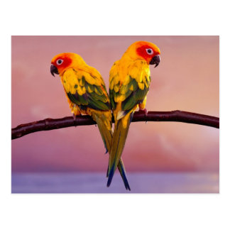 Sun Parakeets (Aratinga solstitialis) Postkarte
