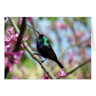 Sunbird auf Judas Baum Karte