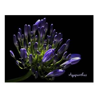 Sunlit blühender lila Agapanthus, afrikanische Postkarte