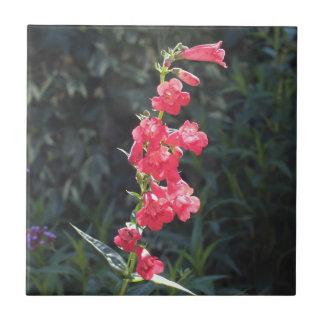 Sunlit rosa Penstemon-Blume Fliese
