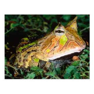 Surinam-Horn-Frosch, Ceratophrys cornuta, gebürtig Postkarte