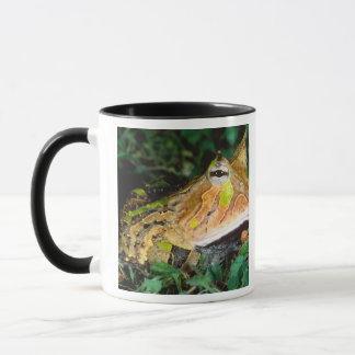 Surinam-Horn-Frosch, Ceratophrys cornuta, gebürtig Tasse