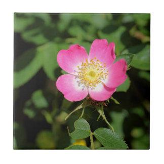 Süße Briar-Rose (Rosa rubiginosa) Fliese